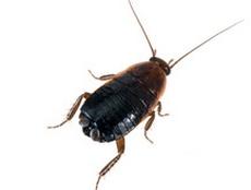 Traitement cafard et blattes