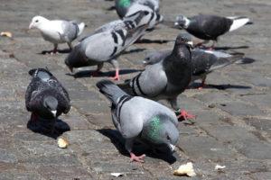 Pigeons, dépigeonnage à Marseille