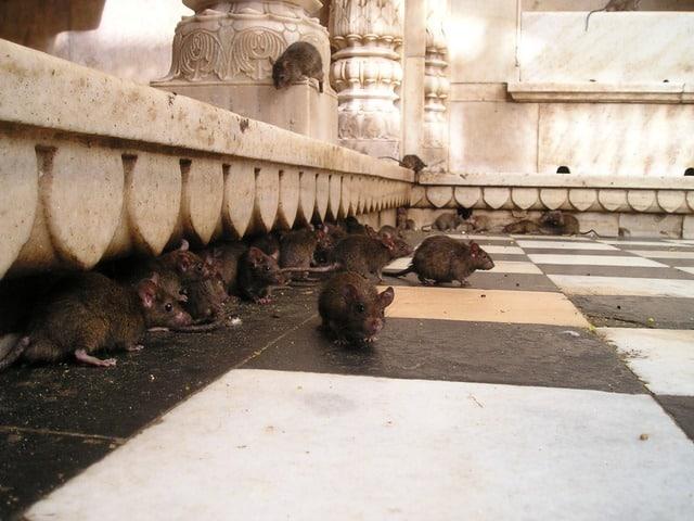 Rats Marseille dératisation