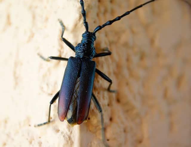Traitement bois Insectes xylophages